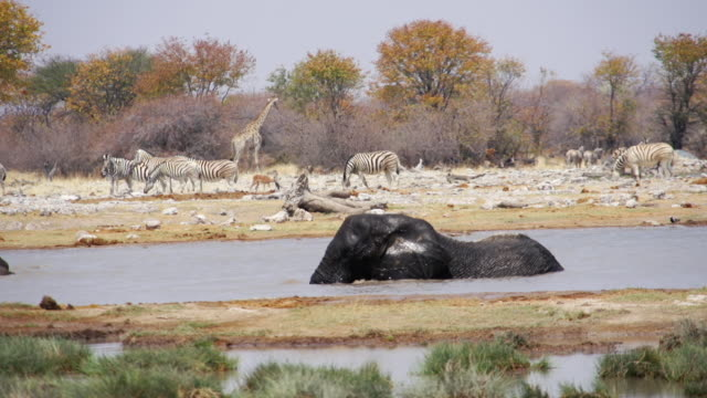 WS View of African Elephant swimming at water hole / Etosha National Park, Namibia