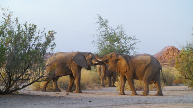 WS TS View of African Elephants fighting in savannah / Etosha National Park, Namibia