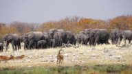 WS TS View of African Elephants walking in savannah, Impalas foregrounded / Etosha National Park, Namibia