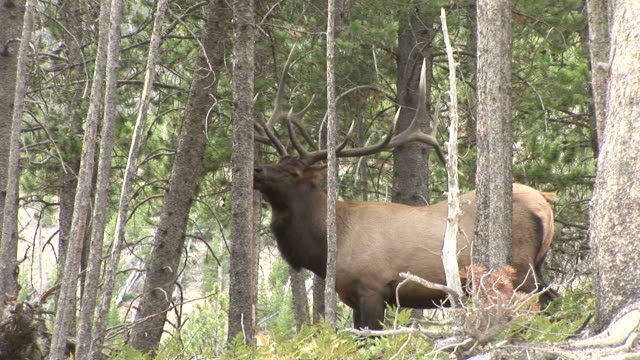 View of an Elk in Yellowstone National Park Wyoming United States