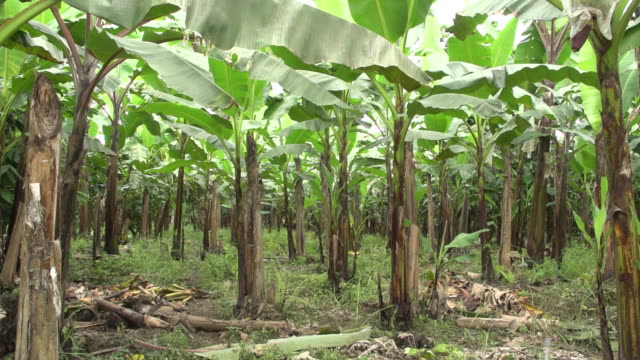 View of banana crops from the inside.
