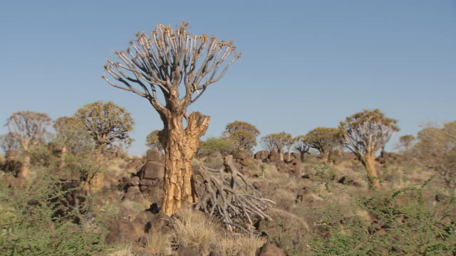 MS View of Baobab trees amongst rocky landscape / Limpopo, South Africa