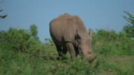 WS SLO MO View of Black Rhino grazing / Pilanesberg, Gauteng, South Africa