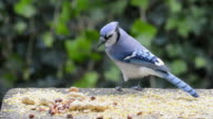 WS View of blue jay selecting whole peanut, second blue jay collecting peanut pieces, third blue jay taking peanut, second blue jay returning for more pieces / Valparaiso, Indiana, United States