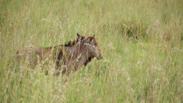 MS View of Blue Wildebeest calf standing in long grass / Pilanesberg National Park, North West Province, South Africa