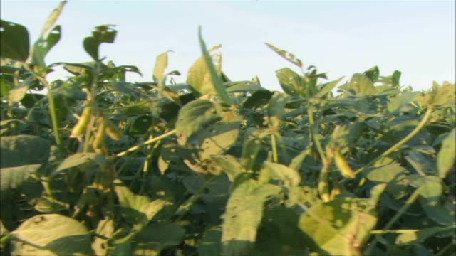 MS PAN View of broad bean plants  / Washington DC, District of Columbia, USA