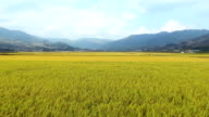 AERIAL View of broad rice paddy and mountain