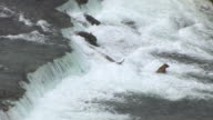 MS AERIAL ZO View of brown bear sitting and eating in Brooks Falls / Alaska, United States