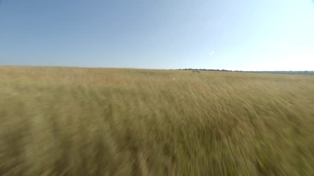 WS AERIAL View of buffalo running across grassland / Kwazulu Natal, South Africa