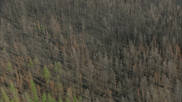 AERIAL View of burnt forest with dead trees with black trunks rising from earth / Marion, Montana, USA