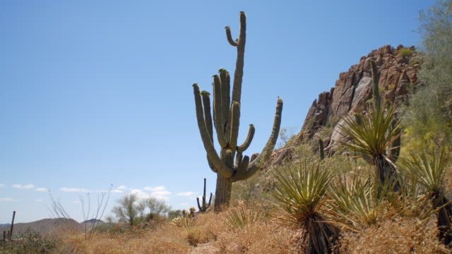 MS T/L View of cactus in desert / Scottsdale, Arizona, USA