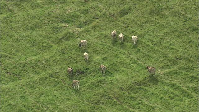 WS ZO View of calves grazing on mountain side / Schwyz, Switzerland