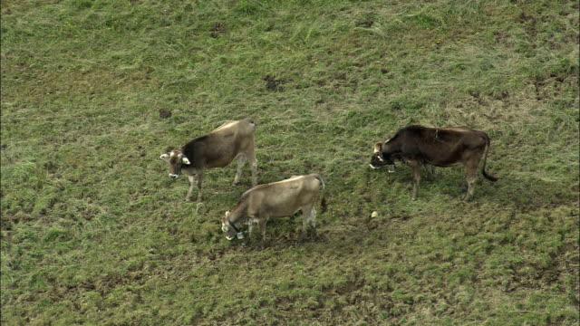 WS View of calves grazing on mountain side / Schwyz, Switzerland