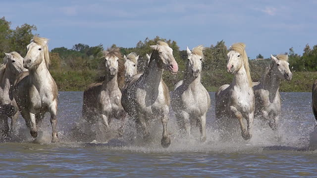 WS SLO MO View of camargue horse herd galloping through swamp / Saintes Marie de la Mer, Camargue, France