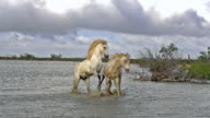 WS SLO MO View of camargue horse stallions fighting in swamp / Saintes Marie de la Mer, Camargue, France