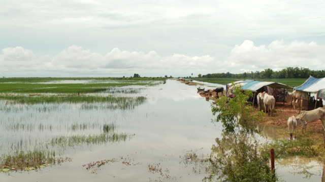 WS PAN View of Cambodian farmers tents in midst of flooded rice paddies in Puok Area with buffalo and children / Siem Reap, Siem Reap Province, Cambodia