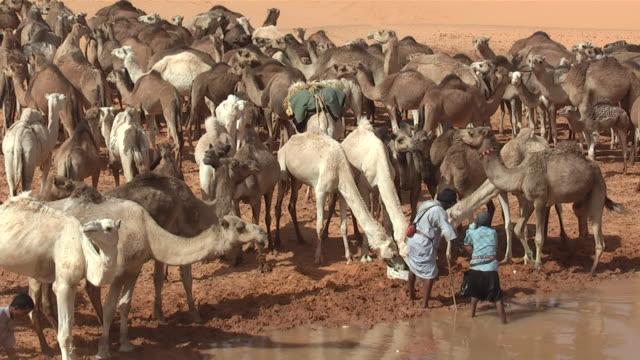 MS View of camel drinking water / Atar, ADRAR, Mauritania