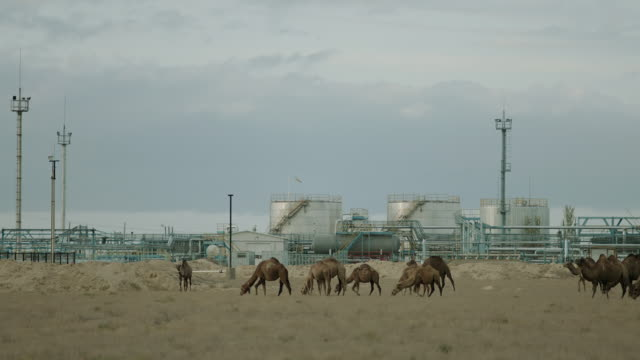 WS SLO MO View of Camels grassing in front of factory / Kazakhstan