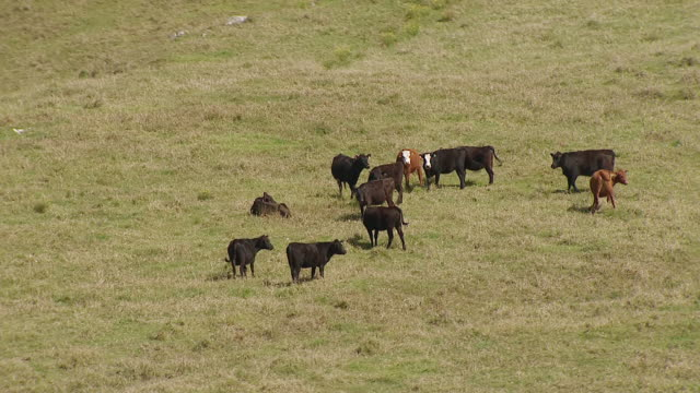 WS TS AERIAL View of cattle grazing in grass on big island / Hawaii, United States