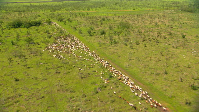 WS AERIAL TS View of Cattle muster / Rakula, Northern Territory, Australia