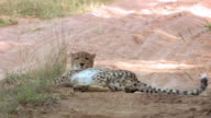 WS PAN View of Cheetah lying in dirt road, turns over, Entabeni Game Reserve / Limpopo, South Africa