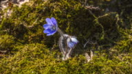 View of Cheongnorugwi(Hepatica Asiatica and spring flower) blooming