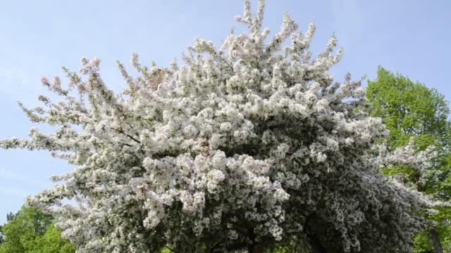MS View of Cherry blooming tree / Landshut, Bavaria, Germany