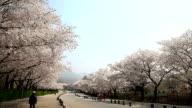 View of cherry blossom at Seoul Grandpark
