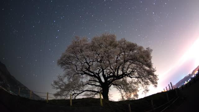 WS T/L View of cherry tree and star trail at midnight / nirasaki, Yamanashi, Japan
