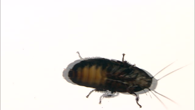 View of Cockroach belly side while its crawling