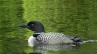 MS TS View of Common loon flowing in river / Algonquin Provincial park, Ontario, Canada
