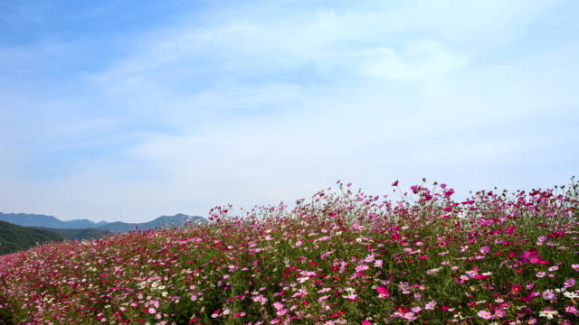 View of cosmos in Yeoncheongun