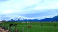 View of cows feeding on Chungku-shitai meadow