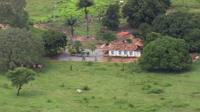 WS AERIAL View of cows running in green field / Brazil