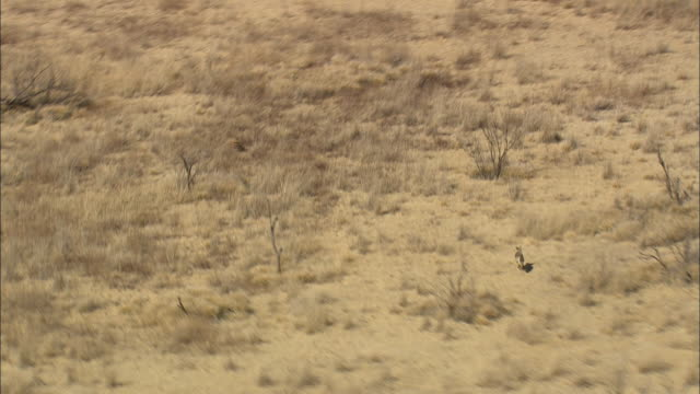 WS AERIAL TS View of coyotes running fast / Texas, United States