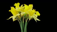 MS T/L View of Daffodil of flower blooming/ New York, United States