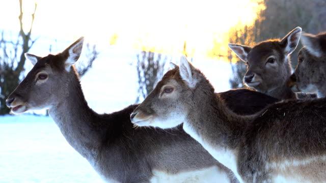 View of deer at Peter and Paul wild park of Sankt Gallen in winter
