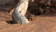 MS TS View of Egyptian tortoise (Testudo kleinmanni) walking on desert sand / eilat, negev desert, Israel