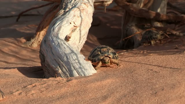 MS TS View of Egyptian tortoise (Testudo kleinmanni) walking on desert sand / eilat, negev desert, Israel