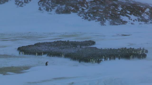 'WS View of Emperor penguin massed huddle in blizzard / Dumont D Urville Station, Adelie Land, Antarctica /Dumont D Urville Station, Adelie Land, Antarctica '