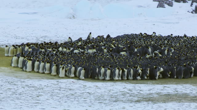 WS View of Emperor penguin massed huddle showing rotation as penguins shuffle round / Dumont D'Urville Station, Adelie Land, Antarctica