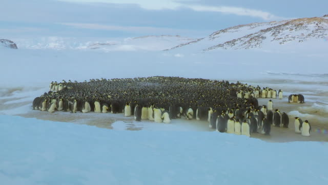 'WS View of Emperor penguin massed huddle with penguins moving around in light blizzard / Dumont D Urville Station, Adelie Land, Antarctica '