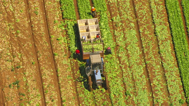 WS AERIAL View of farmer loading broccoli in crates on trailer / Werribee, Victoria, Australia