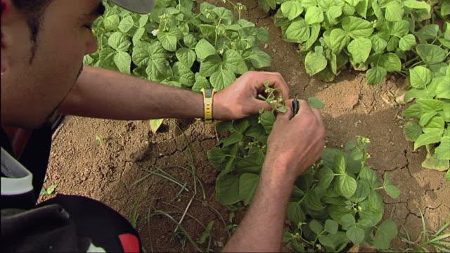 MS ZO View of farmer measuring plant / Pinar Del Rio, Cuba