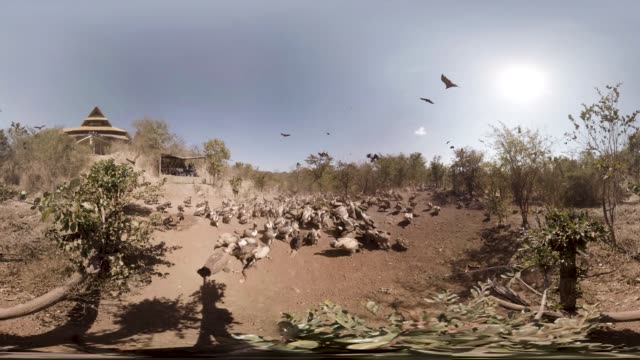 VR view of feeding time for the vultures at a wildlife sanctuary in Botswana