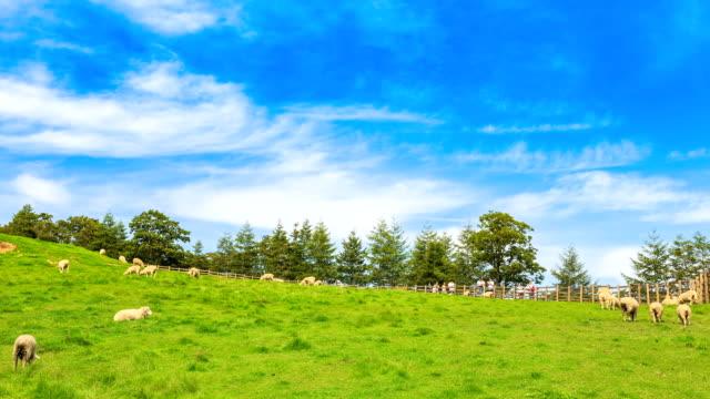 View of flock of sheep on the grass area at Samnyangmokjang pasture in Daegwallyeong