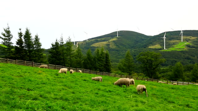 View of flock of sheep on the grass area at Samnyangmokjang pasture in Daegwallyeong