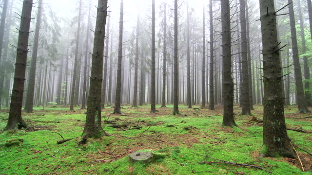 WS View of foggy forest with mossy ground / Serrig, Rhineland Palatinate, Germany