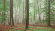 WS PAN View of foggy forest with mossy ground / Serrig, Rhineland Palatinate, Germany
