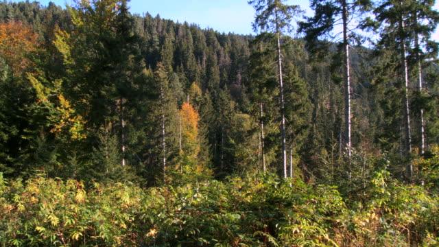 MS PAN View of forest / Borjomi, Georgia